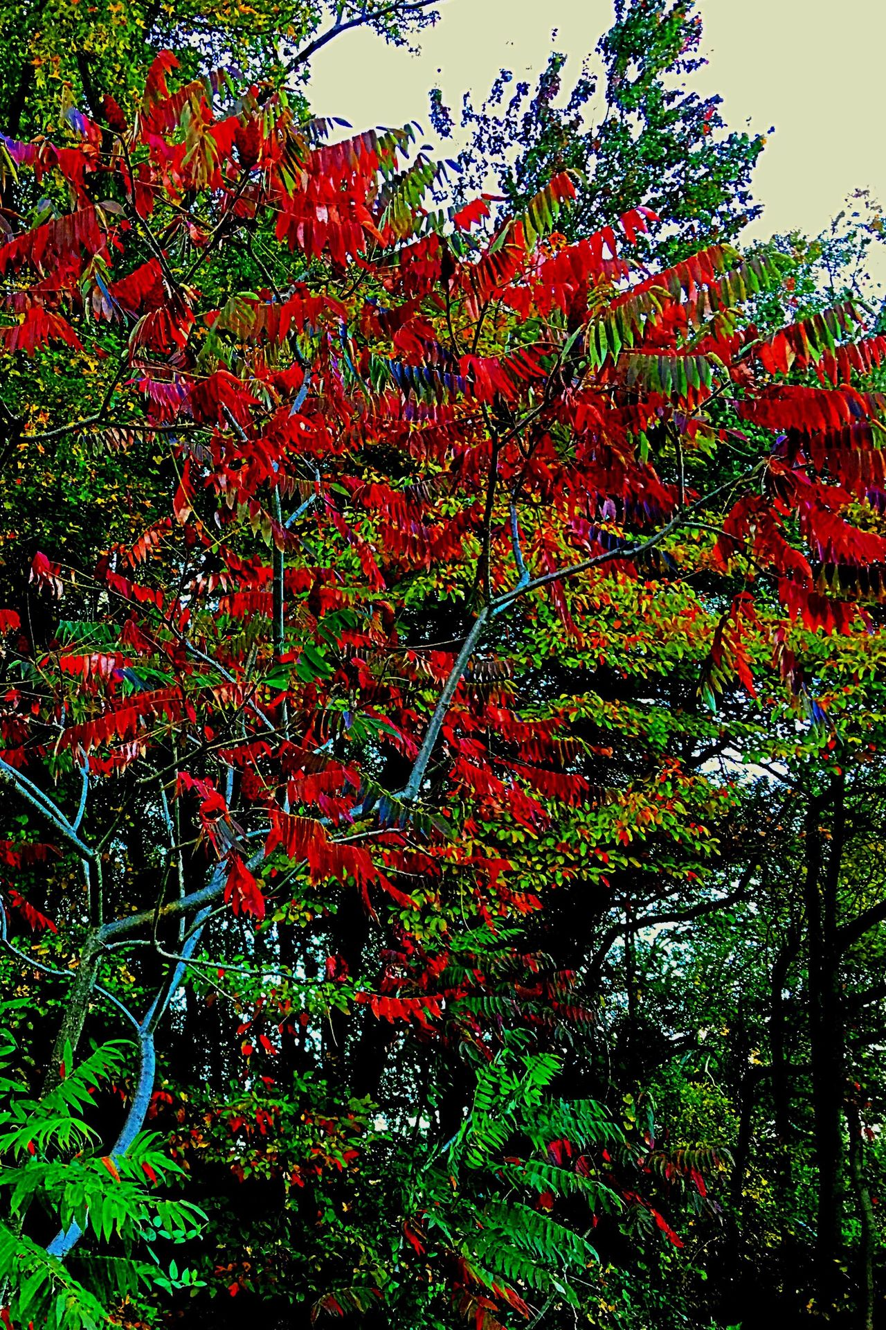 Unique tree in woods Outwalking Taking Pictures Red Growth Nature Leaf Tree No People Beauty In Nature Outdoors Day Branch Green Color Camerafilters Colorphotography Fall Beauty Fallfoliage Iphonephotography Tranquility