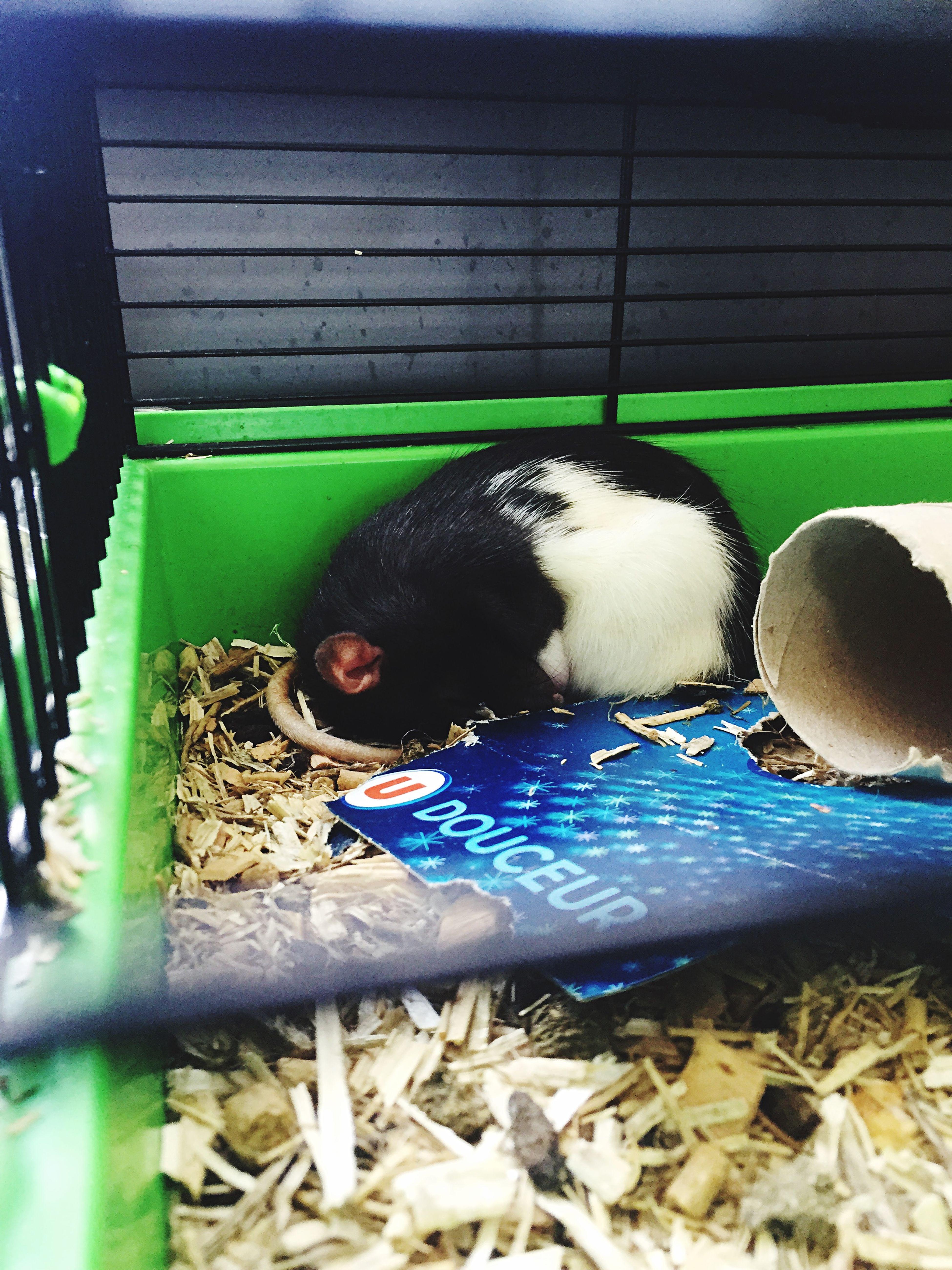 Rat Ratoune Fael Sleep Lazy
