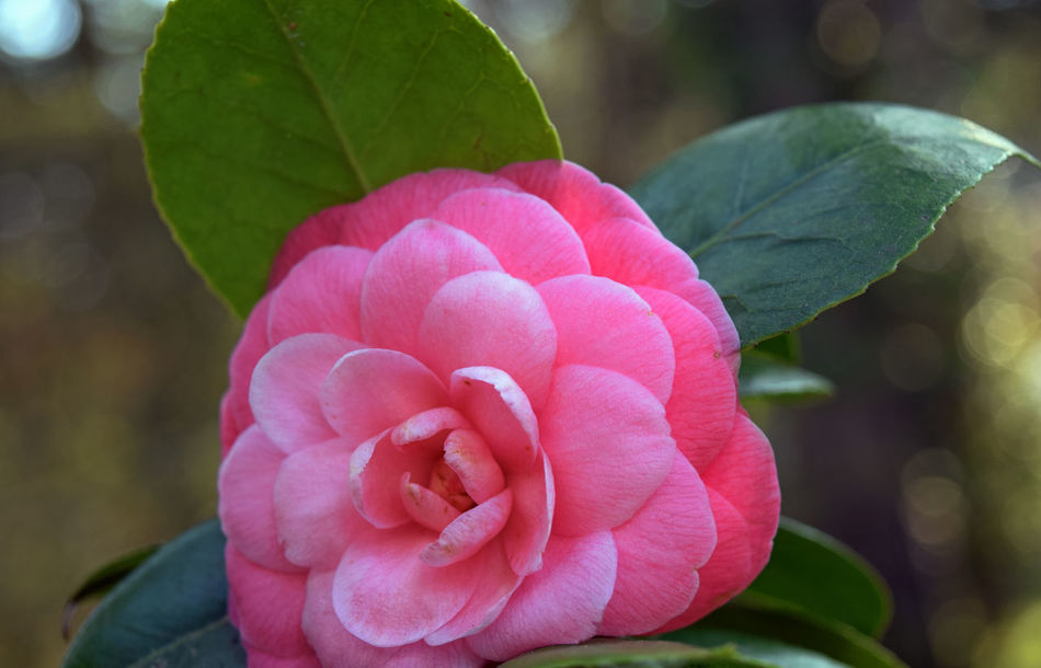 Beauty In Nature Camellia Camellia Japonica Close-up Day Flower Flower Head Focus On Foreground Fragility Freshness Growth Leaf Nature No People Outdoors Petal Pink Color Pink Flower Plant