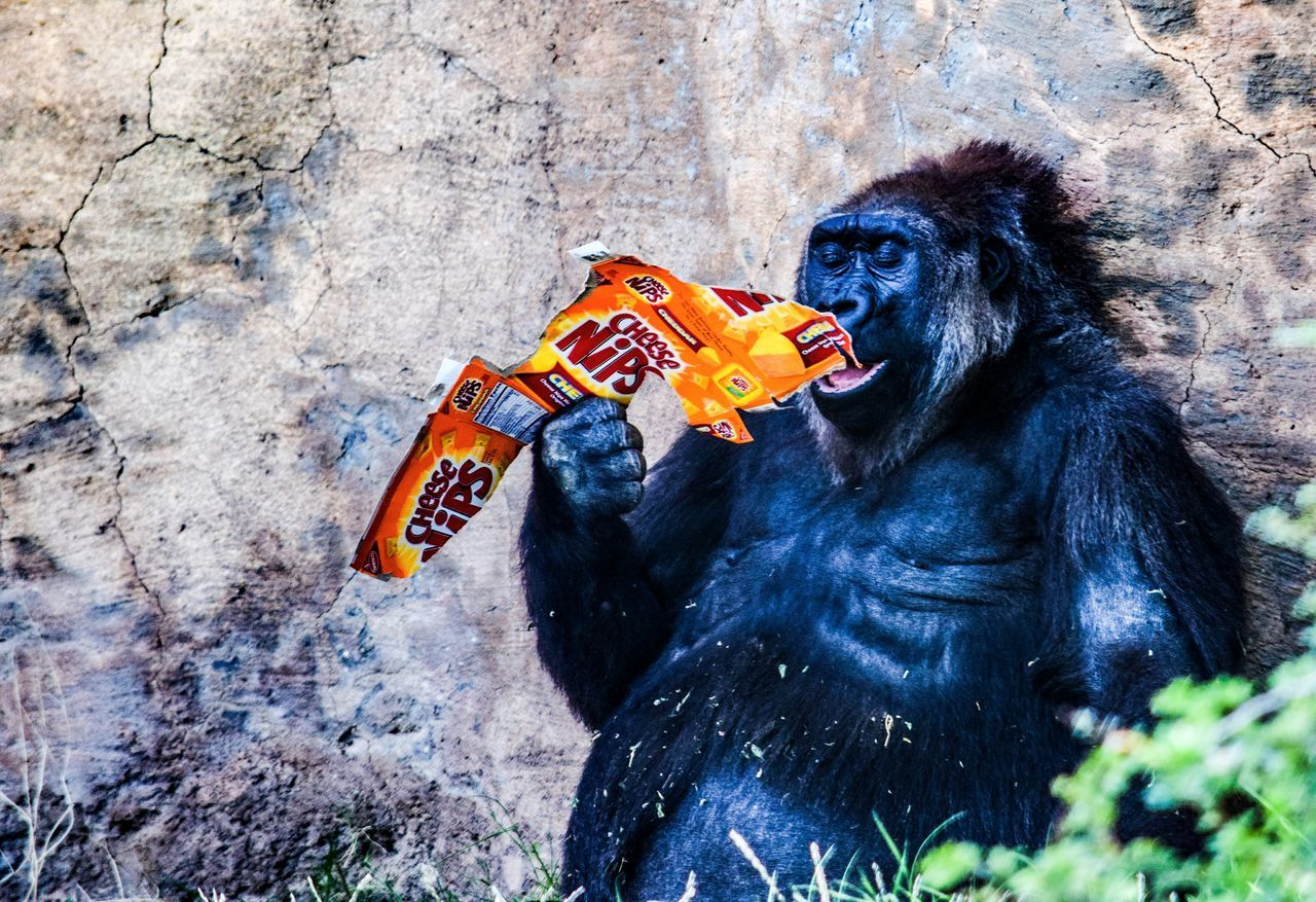 Enjoying Life Public Places Urbanphotography Hello World Taking Pictures Check This Out Monkey Business Gorilla Mom? Say Cheese Taking Photos Cheesemonster Cheesemomonk Zoo Animals Darryn Doyle Hunger Pains Snack Time! Dinner Time