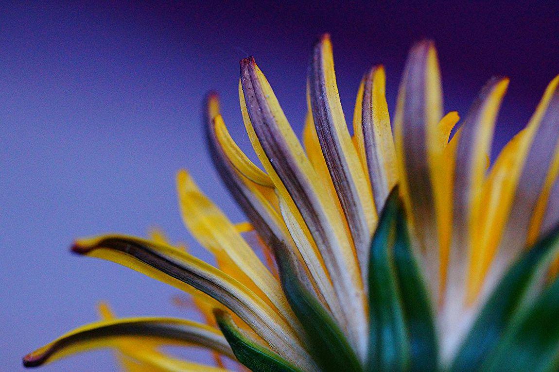 Maskros 🌼 EyeEm Nature Lover Macro_flower Macro Nature_collection Lemon Lime By Motorola Nature