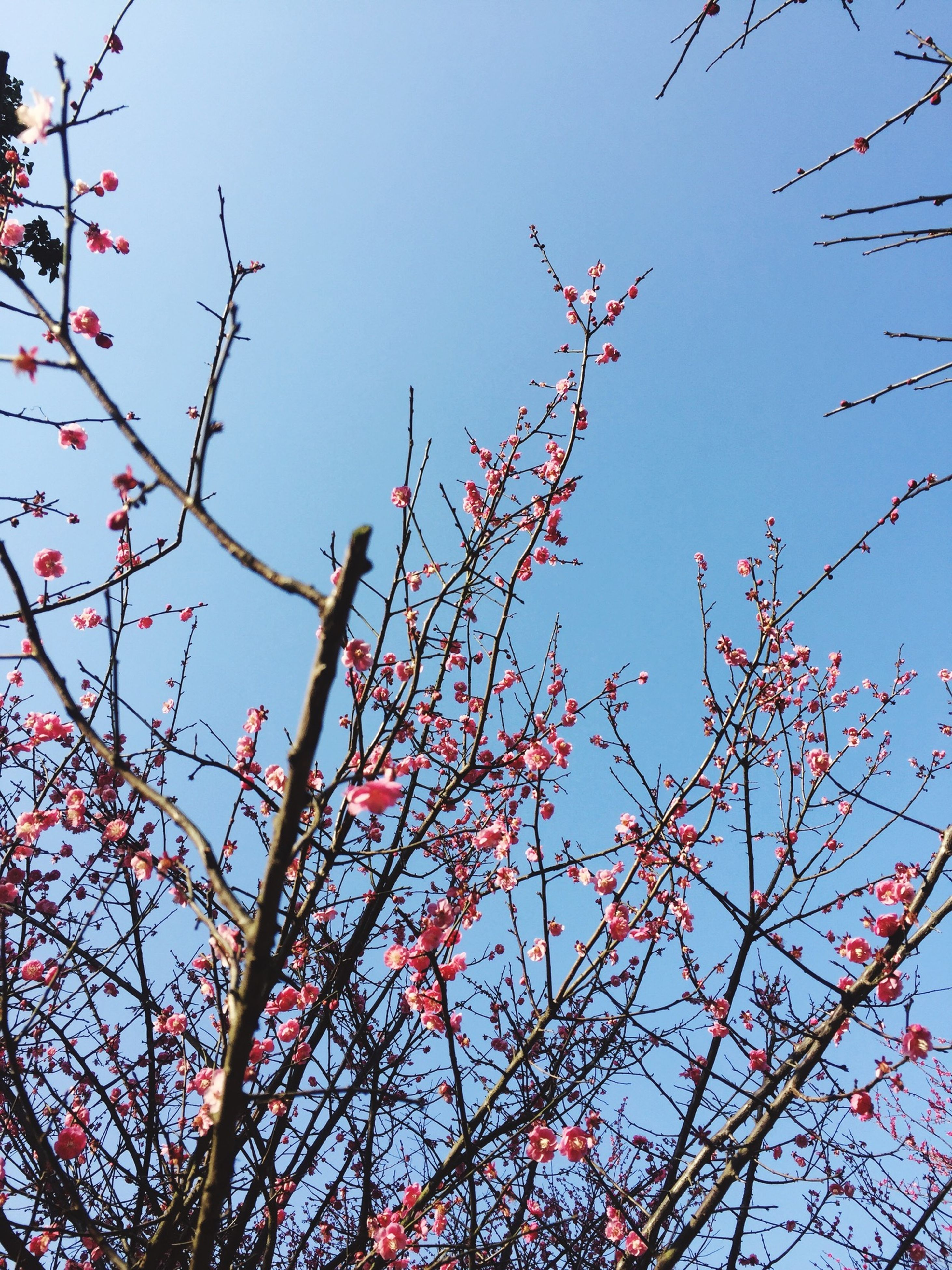 low angle view, clear sky, tree, branch, sky, growth, nature, blue, flower, beauty in nature, day, outdoors, red, bare tree, no people, high section, pink color, sunlight, fragility, tranquility