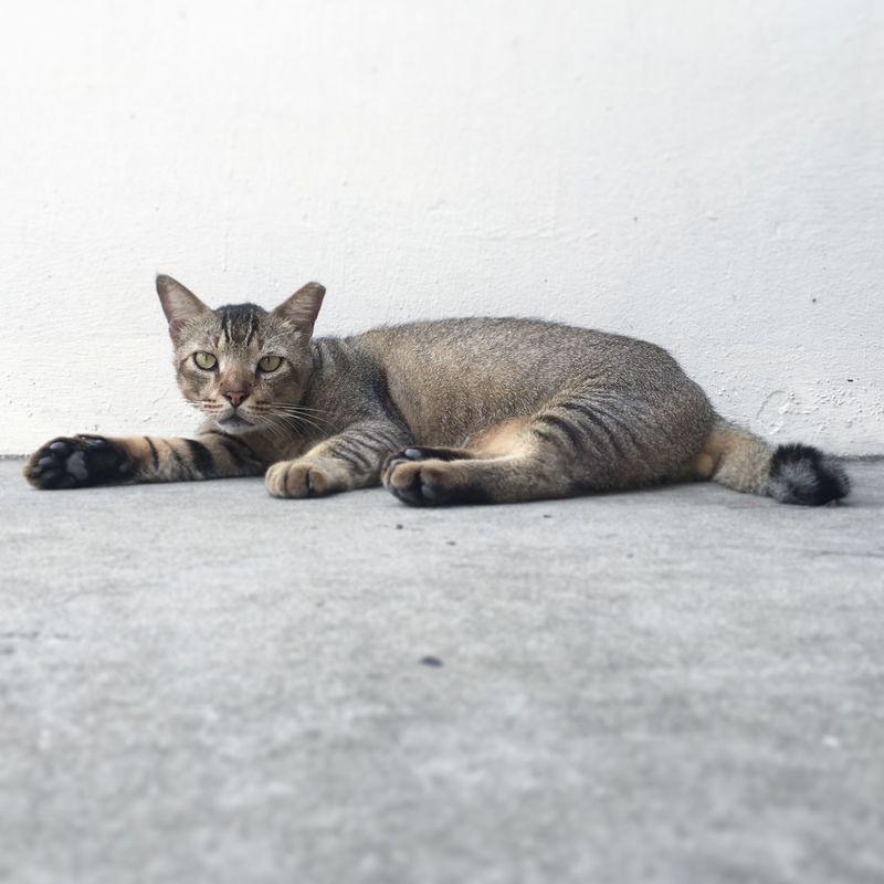 Street cat Streetphotography IPhone Iphone6s Singapore Cat HDBvoiddeck