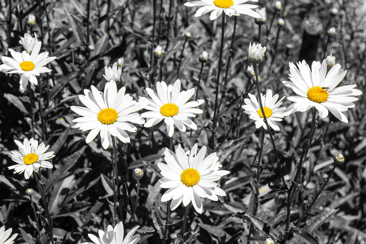 flower, petal, fragility, nature, beauty in nature, freshness, growth, flower head, white color, no people, plant, blooming, outdoors, yellow, day, close-up