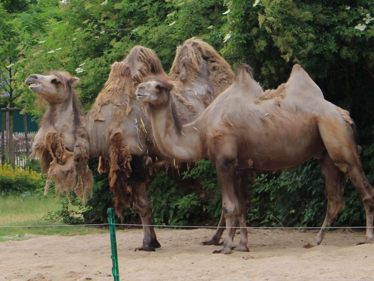 Beautiful stock photos of hump day, Animal Themes, Bactrian Camel, Camel, Day