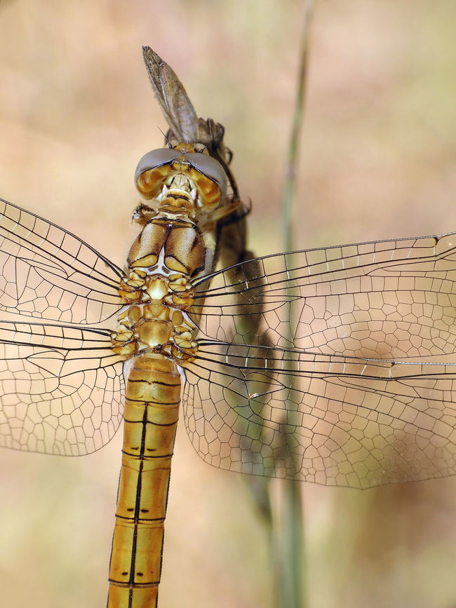 Orthetrum brunneum (female) - Serchio river Dragonfly Insect Macro  Insecta Libellulidae Orthetrum Brunneum Animal Themes Animal Wildlife Animals In The Wild Anisoptera Arthropoda Close-up Hexapoda Insect Insect Close-up Nature Odonata Orthetrum Skimmer Southern Skimmer