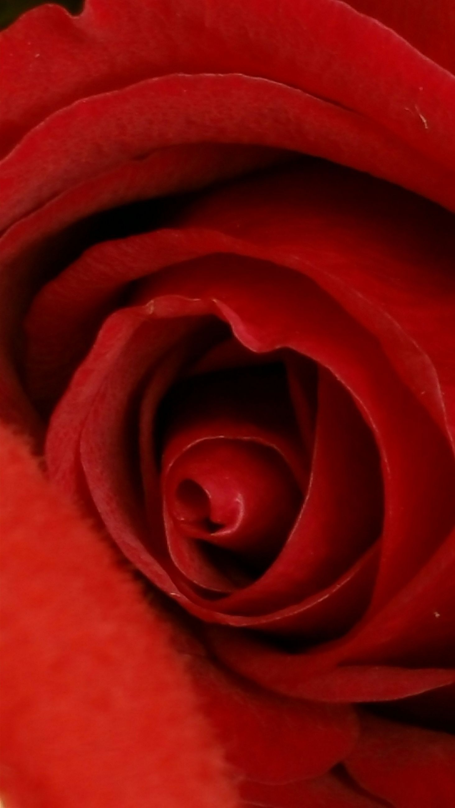 red, flower, petal, flower head, freshness, rose - flower, fragility, beauty in nature, single flower, close-up, full frame, backgrounds, rose, growth, nature, natural pattern, macro, extreme close-up, single rose, no people