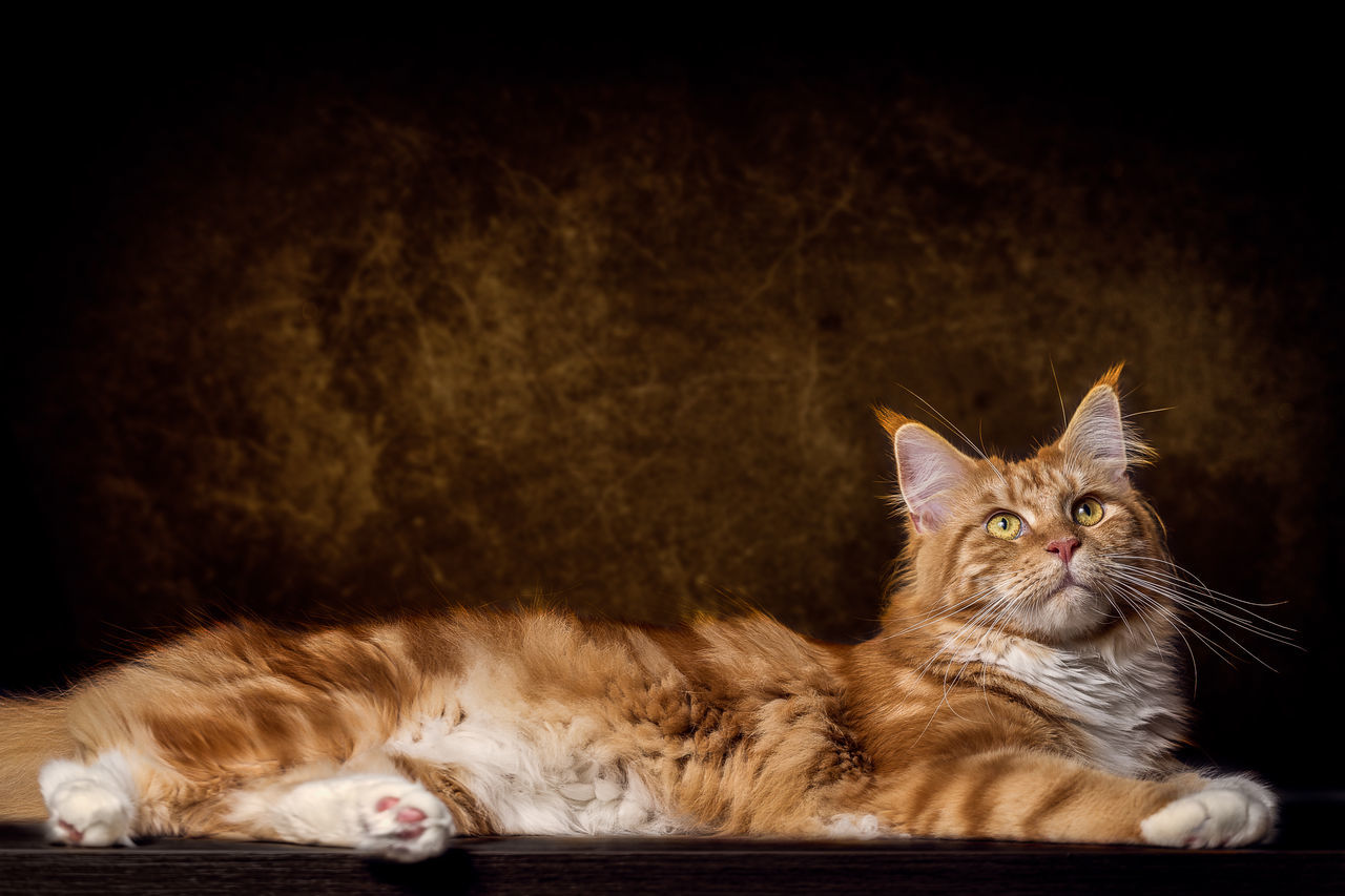 Female Maine Coon Cat Animal Themes Close-up Domestic Animals Domestic Cat Feline Ginger Cat Indoors  Looking At Camera Lying Down Maine Coon Cat Mammal Night No People One Animal Pets Portrait Sitting Whisker