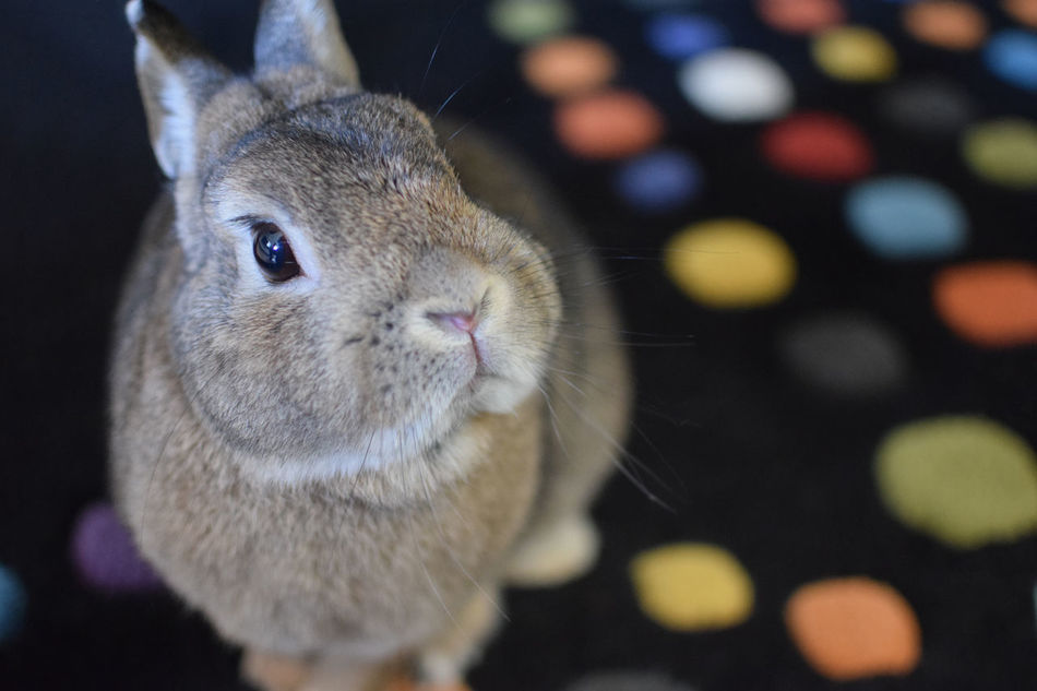 Animal Themes Close-up Domestic Animals EyeEmNewHere Hermelin Indoors  Looking At Camera Mybunny Nikonphotography No People One Animal Pets Portrait Rabbit EyeEmNewHere EyeEmNewHere