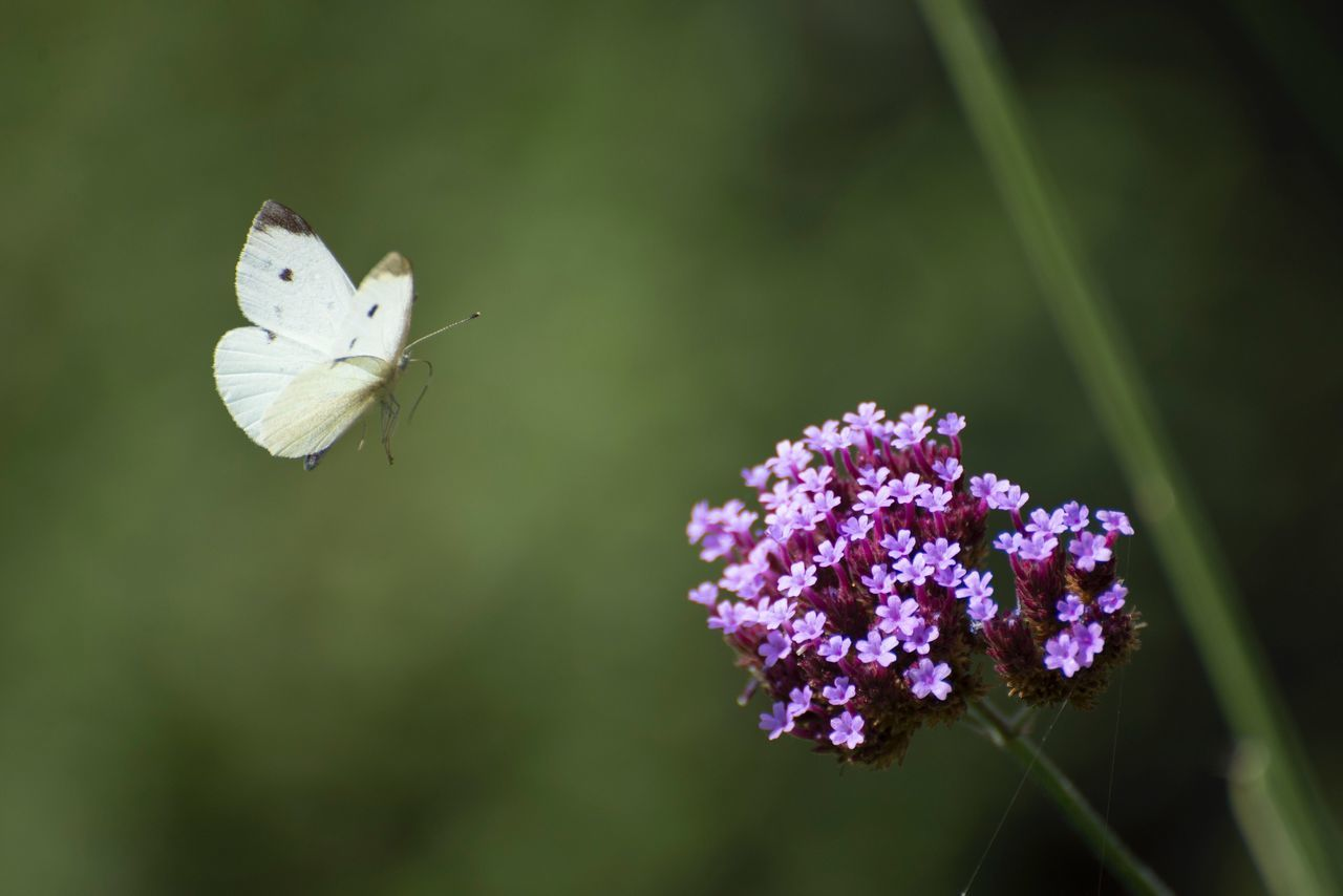 flower, fragility, petal, nature, growth, beauty in nature, freshness, plant, flower head, one animal, focus on foreground, animal themes, day, white color, purple, no people, close-up, outdoors, animals in the wild, blooming, pollination