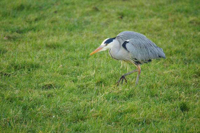Gray Heron hunting Animal Animal Themes Avian Beauty In Nature Bird Concentrated Concentration Day Egret Field Focussed Grass Grassy Gray Heron Green Green Color Heron Hunter Hunting Nature No People Outdoors Predator Predatory Wildlife