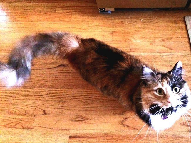 Tazzee The Terrible Tortie Ilovemycat Crazy Kitty Eyeem Best Shots - Animals Allpictuesaremine©