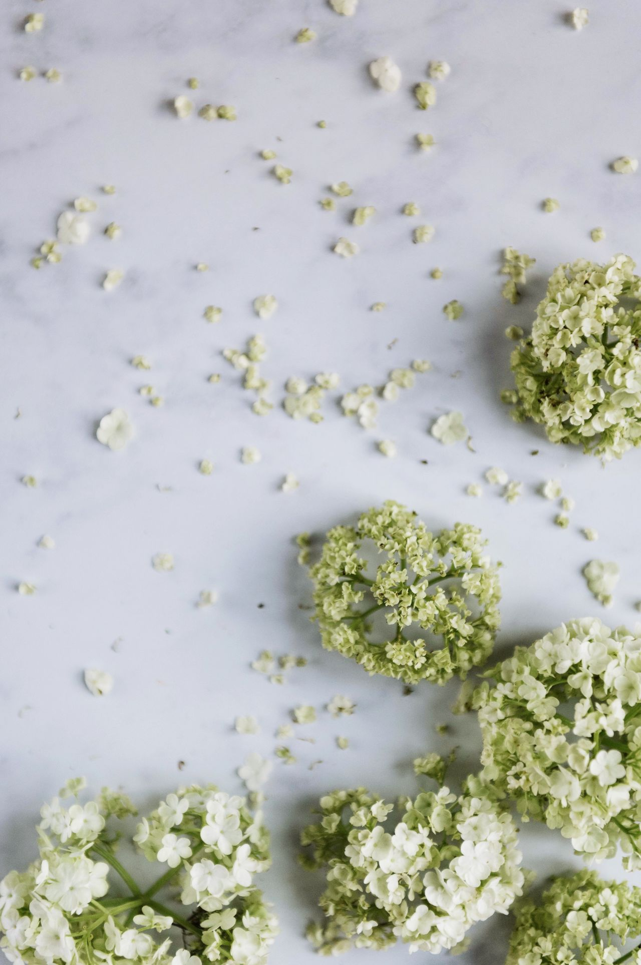 Flower Schneeball Blume Close-up High Angle View Marble Table Flower Mess Blossom White Background Flower Head Freshness Day Petals Faded Faded Beauty Flowers Fragility Lifestyles No People Summer Viburnum Viburnum Plicatum Mess
