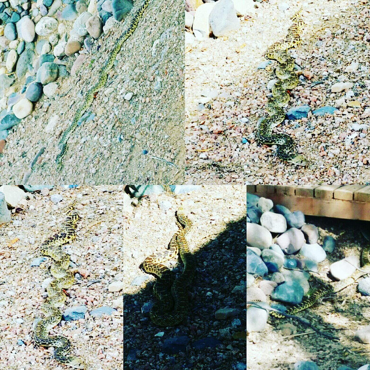 High Angle View Poisonous Snakes Diamondback Rattle Snake Overhead View Beutiful Nature ExploreEverything My Back Yard Arizona Sonoran Desert Deadly Snake Deadlycreatures Surroundings Momentsinthesun