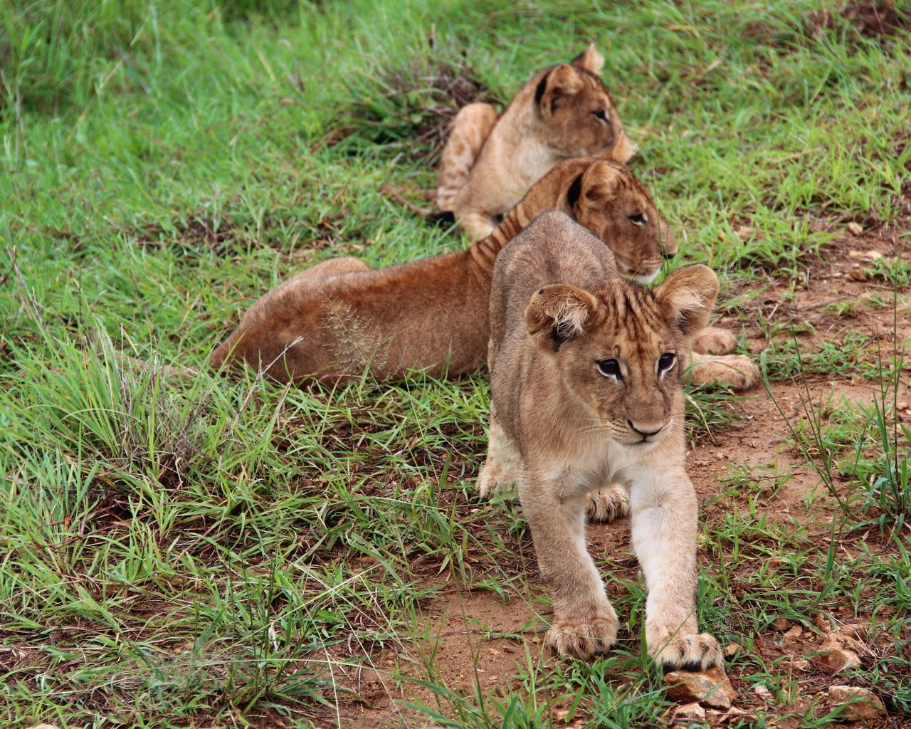 Friendly predators Cute But Deadly  Lion Animals In The Wild Animal Wildlife Simba Tanzania Africa Lion Cub
