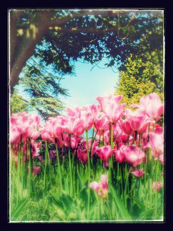 Tulips Flowers Pink Flower