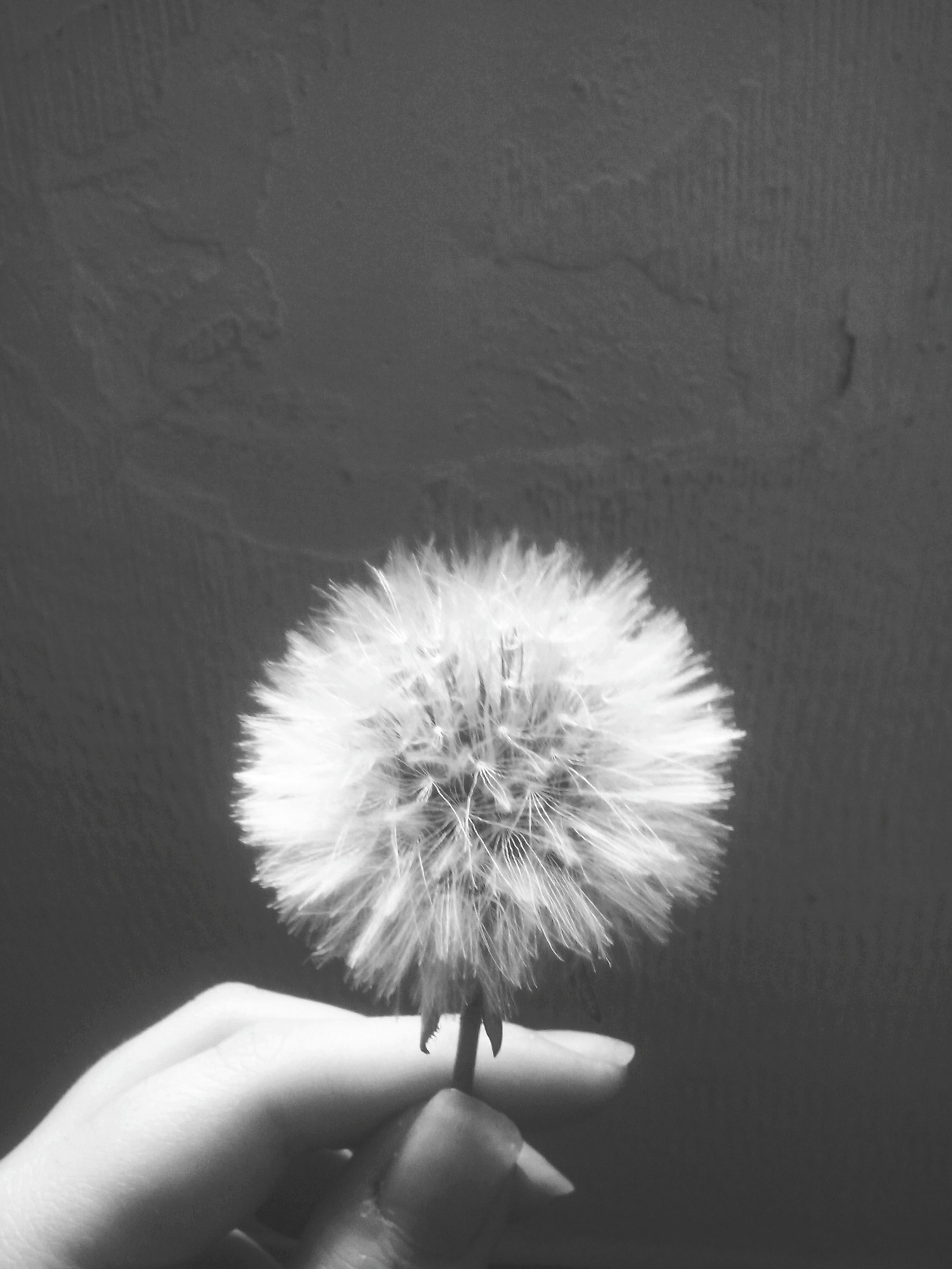 person, holding, lifestyles, part of, unrecognizable person, personal perspective, cropped, leisure activity, indoors, human finger, dandelion, close-up, flower, white color, high angle view, fragility