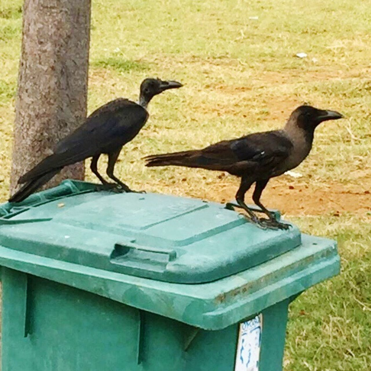 Two Ugly Birds Ugly Birds Birds Bin Crow Bird Animals In The Wild Malaysia