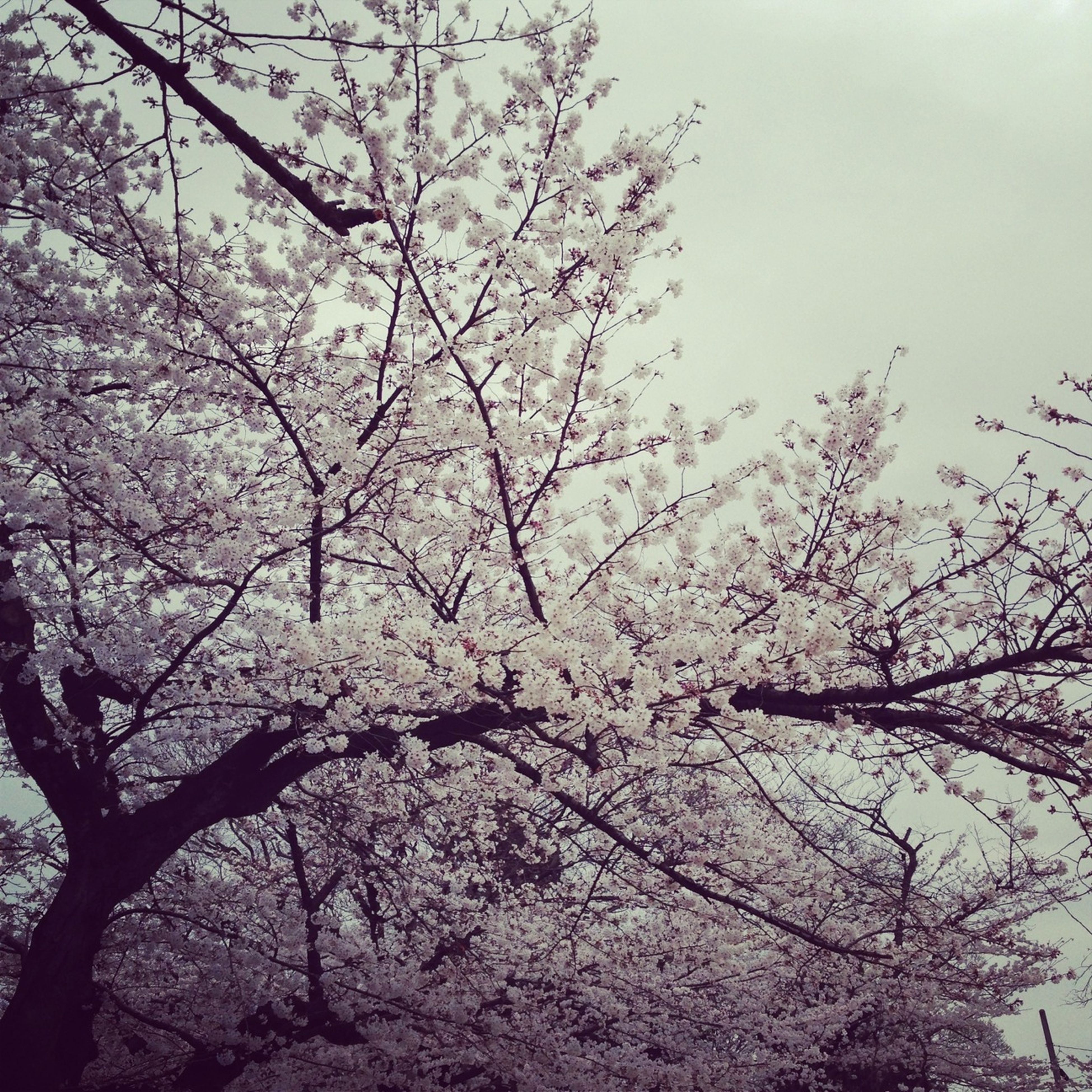 tree, branch, low angle view, growth, beauty in nature, nature, sky, flower, bare tree, tranquility, cherry blossom, cherry tree, scenics, blossom, outdoors, clear sky, day, freshness, no people, tranquil scene