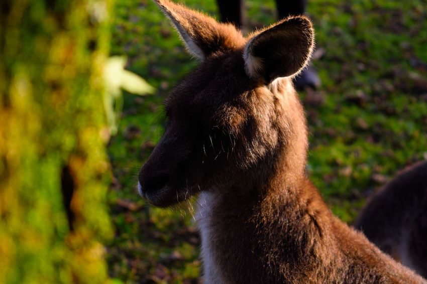 Animal Themes Animals In The Wild Close-up Day Kangaroo Mammal Nature Nature No People One Animal Outdoor Outdoor Photography Outdoor Pictures Outdoors Wild Wildlife Wildlife & Nature Wildlife Photography