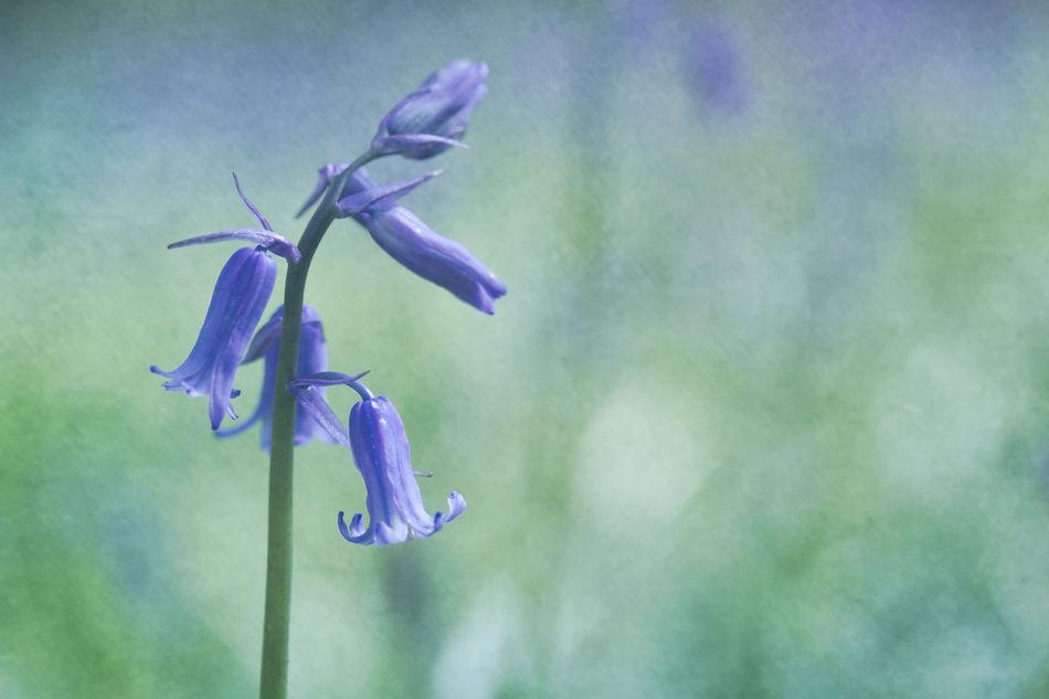 Bluebell Bluebells Flora Floral Flower Flowers Nature Nature Photography Purple Spring Springtime WoodLand