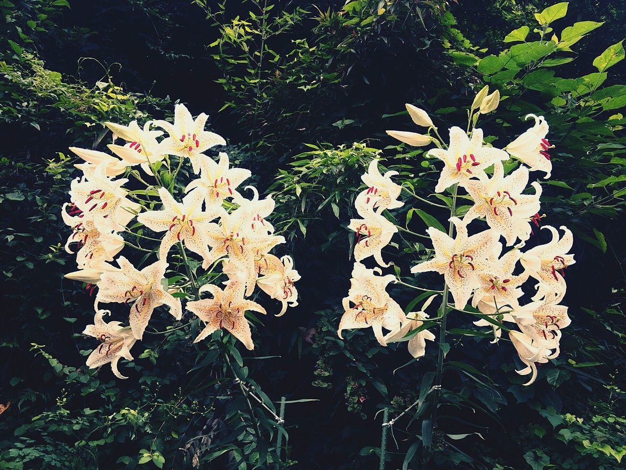 The OO Mission Lilies Summer Ultimate Japan