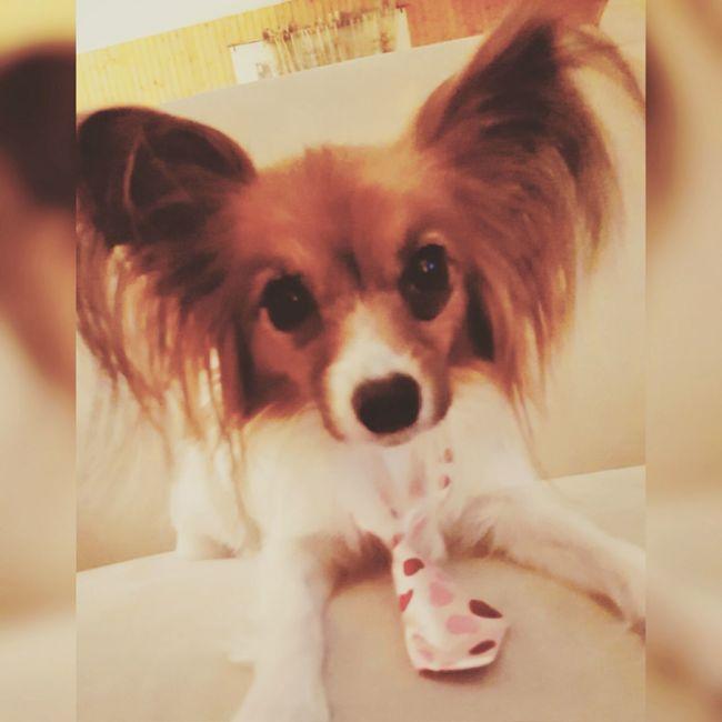 Dogstagram Its A Dogs Life Ilovemydog Papillion, Dog, Cute, Precious, Furry Mansbestfriend Dogslife Papillon I Love My Dog Summer Dogs
