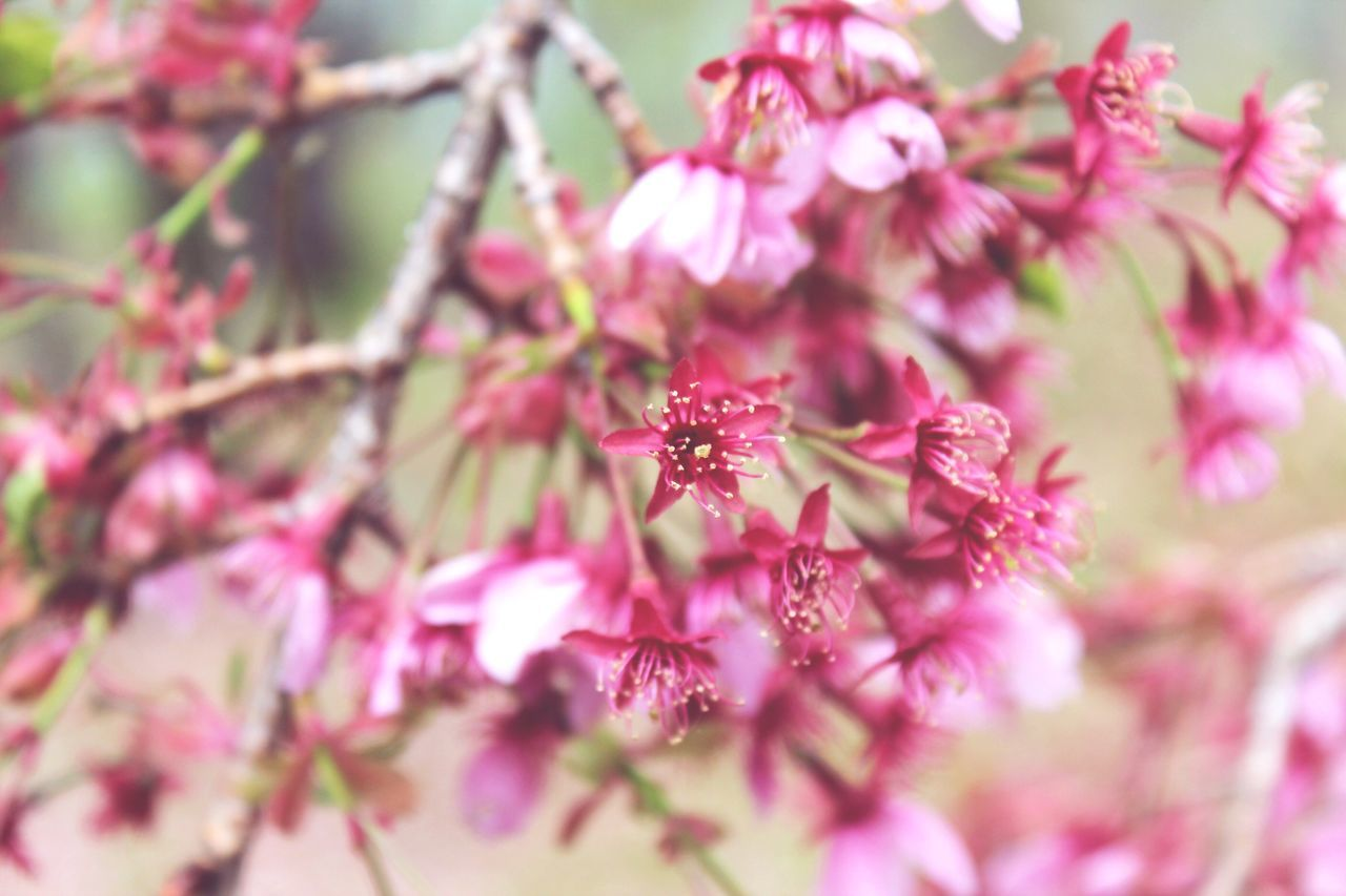 Cherry Blossoms in Japan 2014~ Taken by Reem Addam Beauty In Nature Pink Color Flower Growth Selective Focus Outdoors Freshness Japan Nature Springtime Close-up Plant Tree