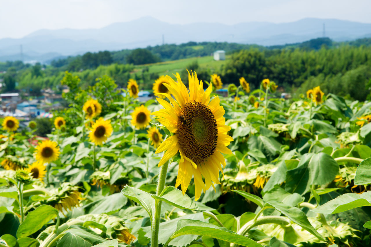 Beautiful stock photos of farm, Agriculture, Beauty In Nature, Blooming, Day