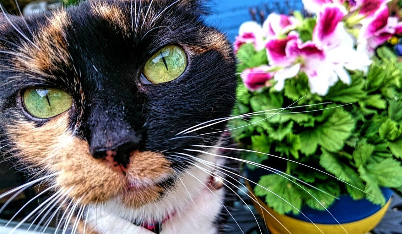 Sugar Plum Cats Cats Of EyeEm Cat Photography Pets Green Eyes Alertness Tortoiseshell Cat Queen Cat Pretty Cat Flower Pot
