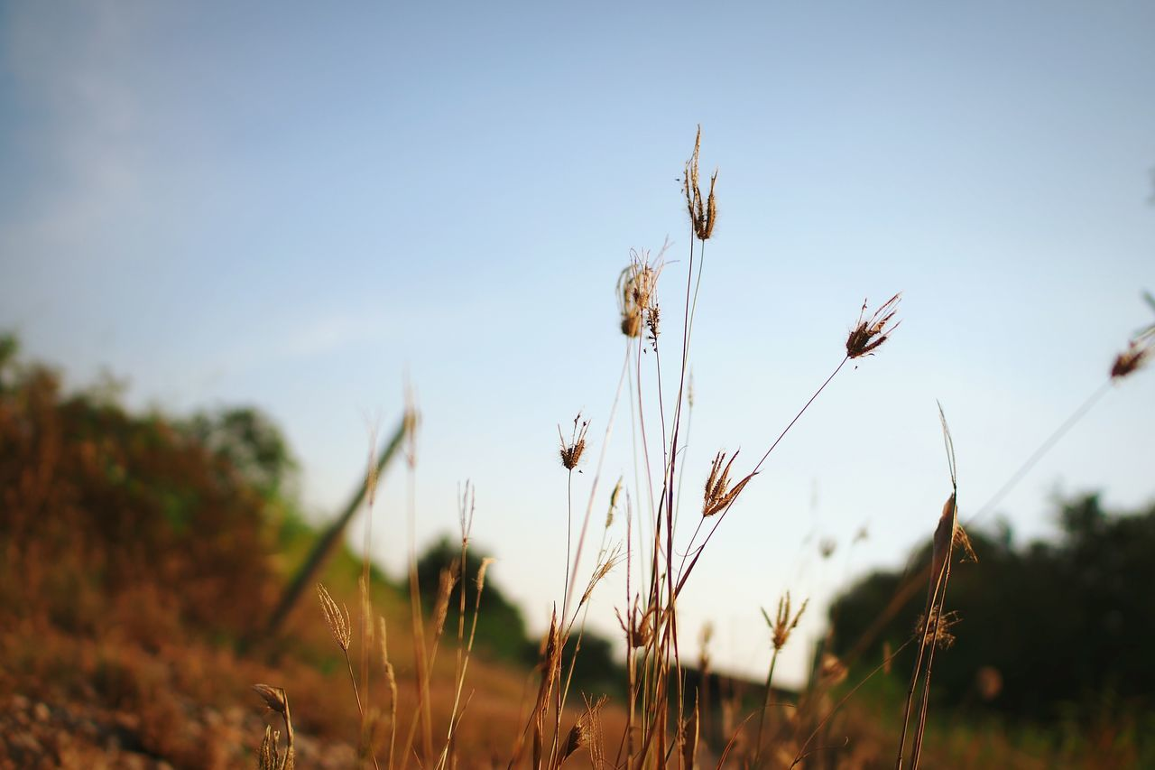 growth, nature, plant, field, crop, agriculture, rural scene, beauty in nature, outdoors, no people, flower, tranquility, day, cereal plant, sky, grass, close-up, freshness