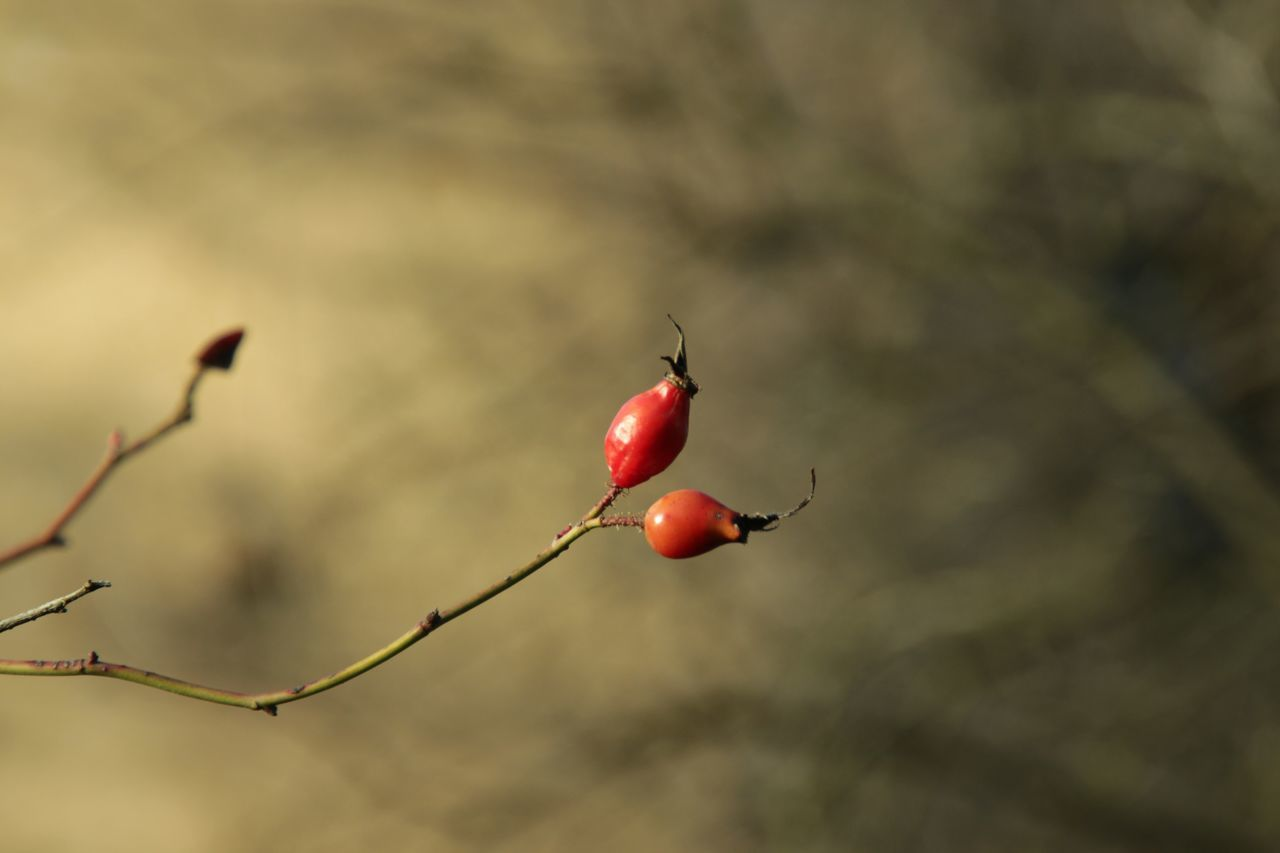 Beginnings Berry Bokeh Branch Bud Close-up Depth Of Field Focus On Foreground Food And Drink Fruit Growing Growth Hanging Leaf New Life No People Red Ripe Selective Focus Stem Twig