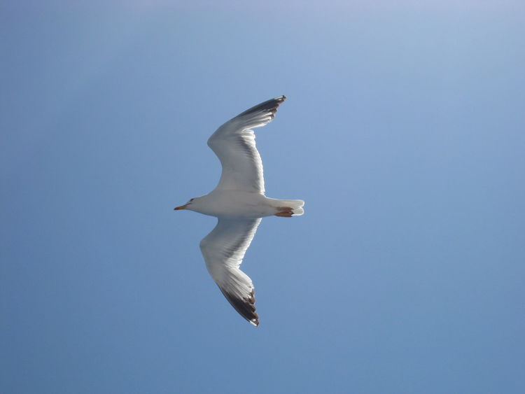 Animal Themes Animal Wildlife Animals In The Wild Bird Clear Sky Day Flying Low Angle View Nature One Animal Outdoors Sky Spread Wings White Color
