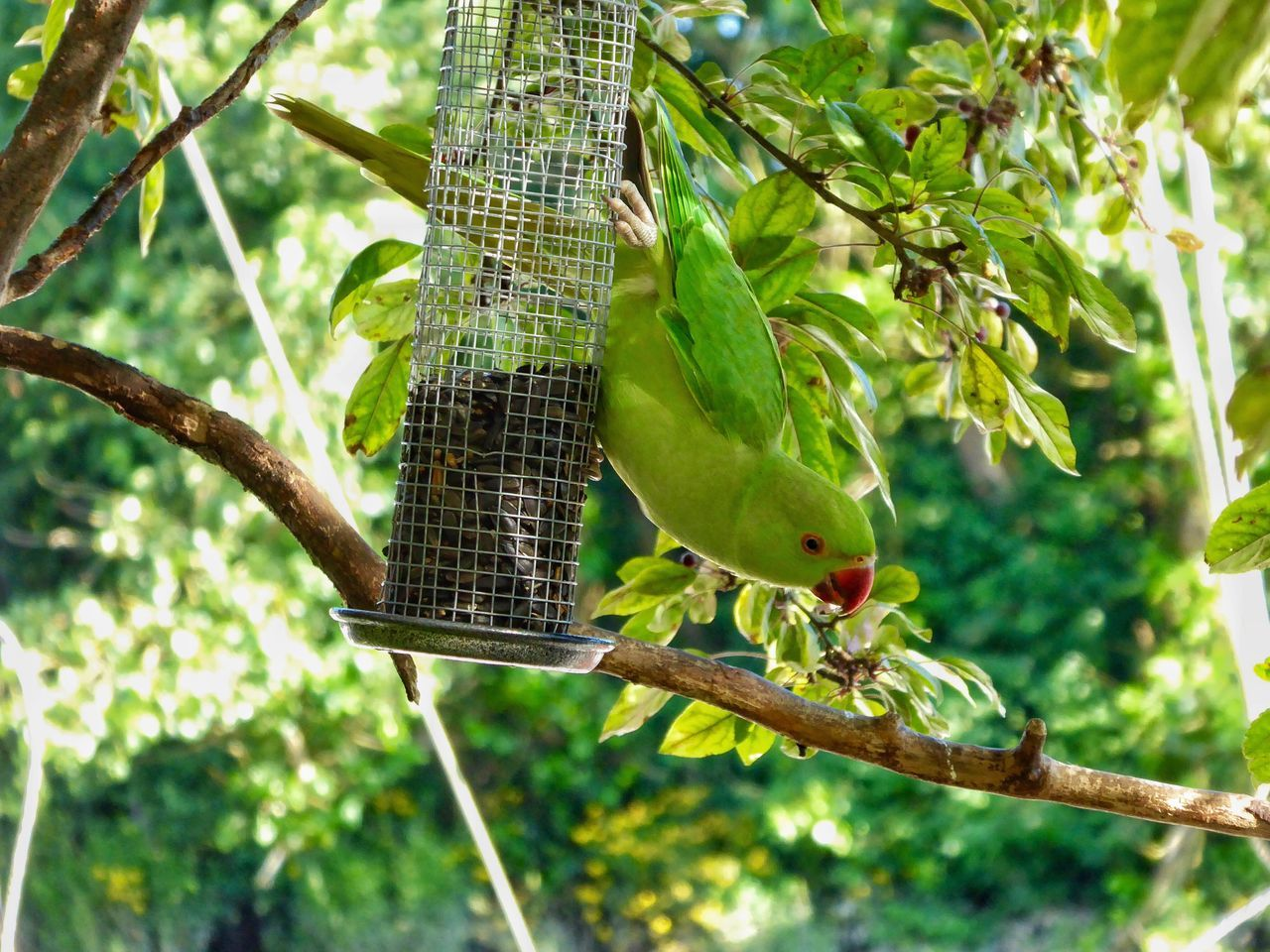 Parakeet Parakeets Rose Ringed Parakeets Rose-ringed Parakeet Rose-ringed Parakeets Bird Bird Photography Birds_collection Birdwatching