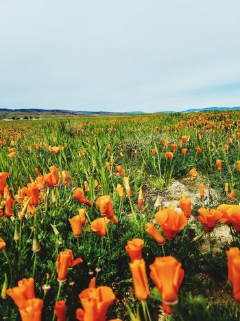 California poppies Outdoors Field Beauty In Nature Spring Bloom EyeEm Best Shots EyeEm Gallery EyeEm Best Edits California Poppies