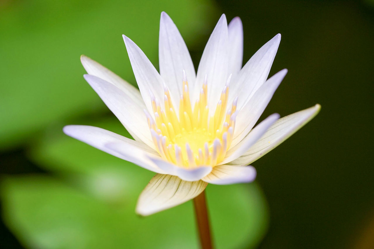 flower, petal, beauty in nature, nature, flower head, fragility, freshness, growth, blooming, white color, plant, close-up, day, no people, water lily, outdoors, lotus water lily, leaf