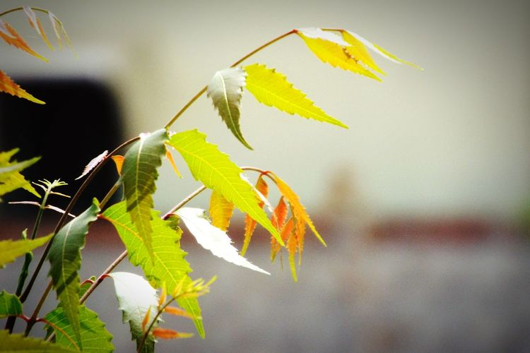 Branch Neem Tree Leaves🌿 EyeEm Nature Lover Neem Leaves. Nature No People