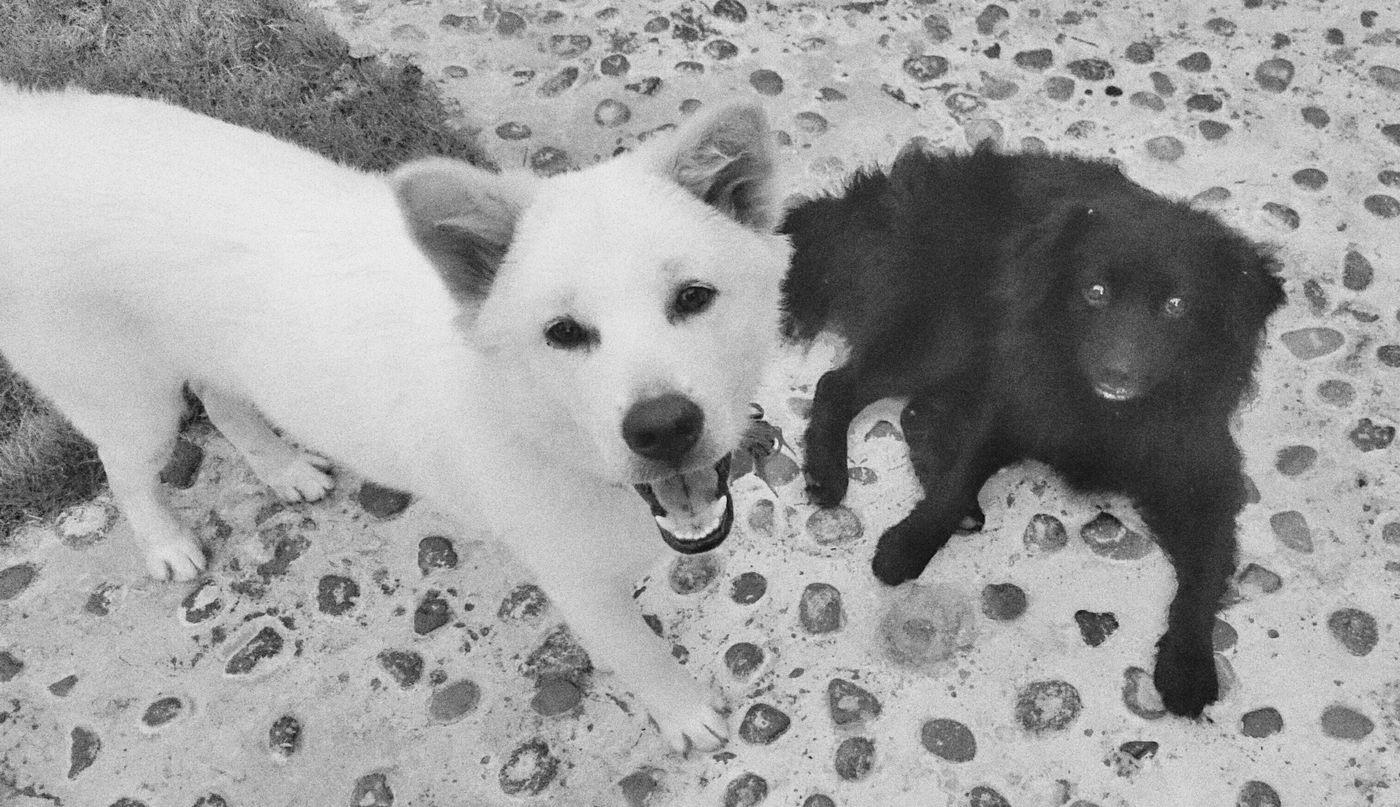 black and white Blackandwhite Doglover Ilovebalidog Kintamani Dog Bali Mixed Breed Dogs Of EyeEm