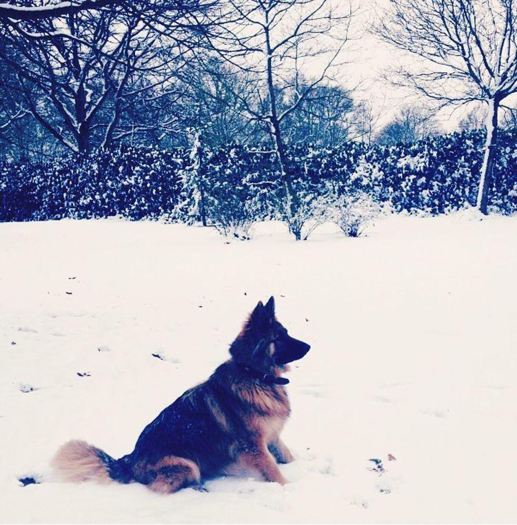 My Heart And Soul German Shepherd Mansbestfriend Snow ❄ Winter Wonderland Furbaby