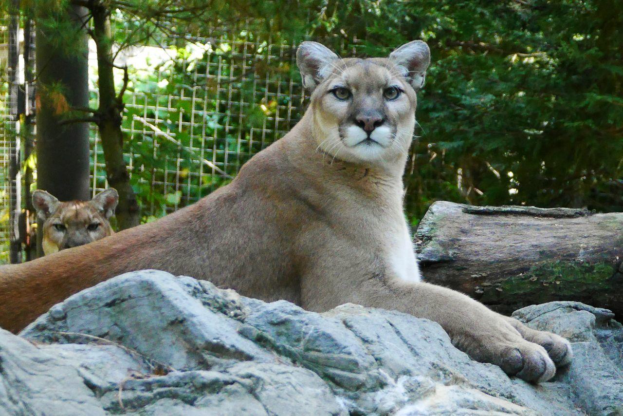 Beautiful stock photos of puma, animals in the wild, one animal, animal themes, animal wildlife
