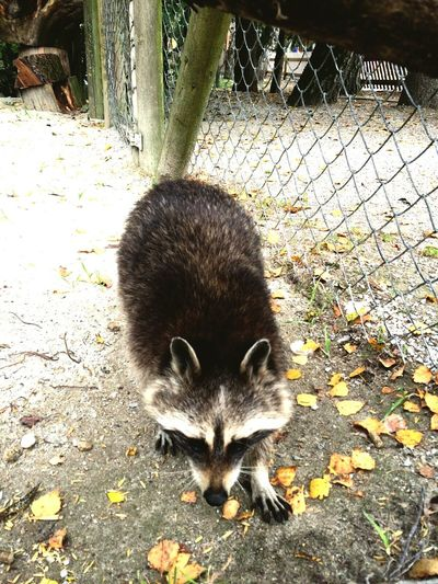 Racoon Zoo Cuddling Naturepark