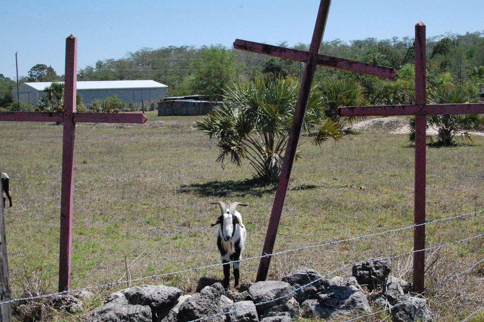 Azazel Crosses Day Field Goat Grassy Landscape No People Non-urban Scene Outdoors Puzzeling Strange Scapegoat