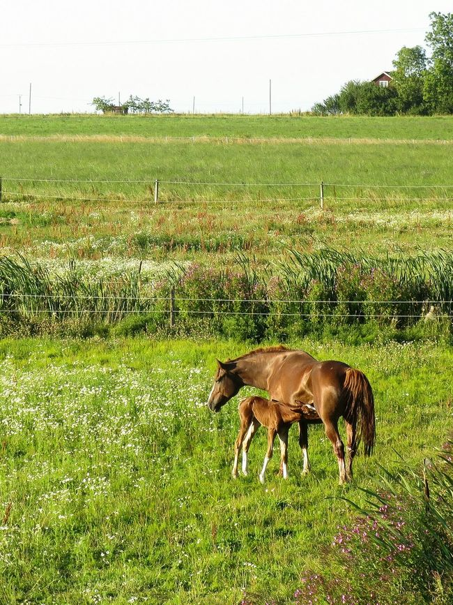 Erstad Cute Baby Horse Hungry Field Landscape