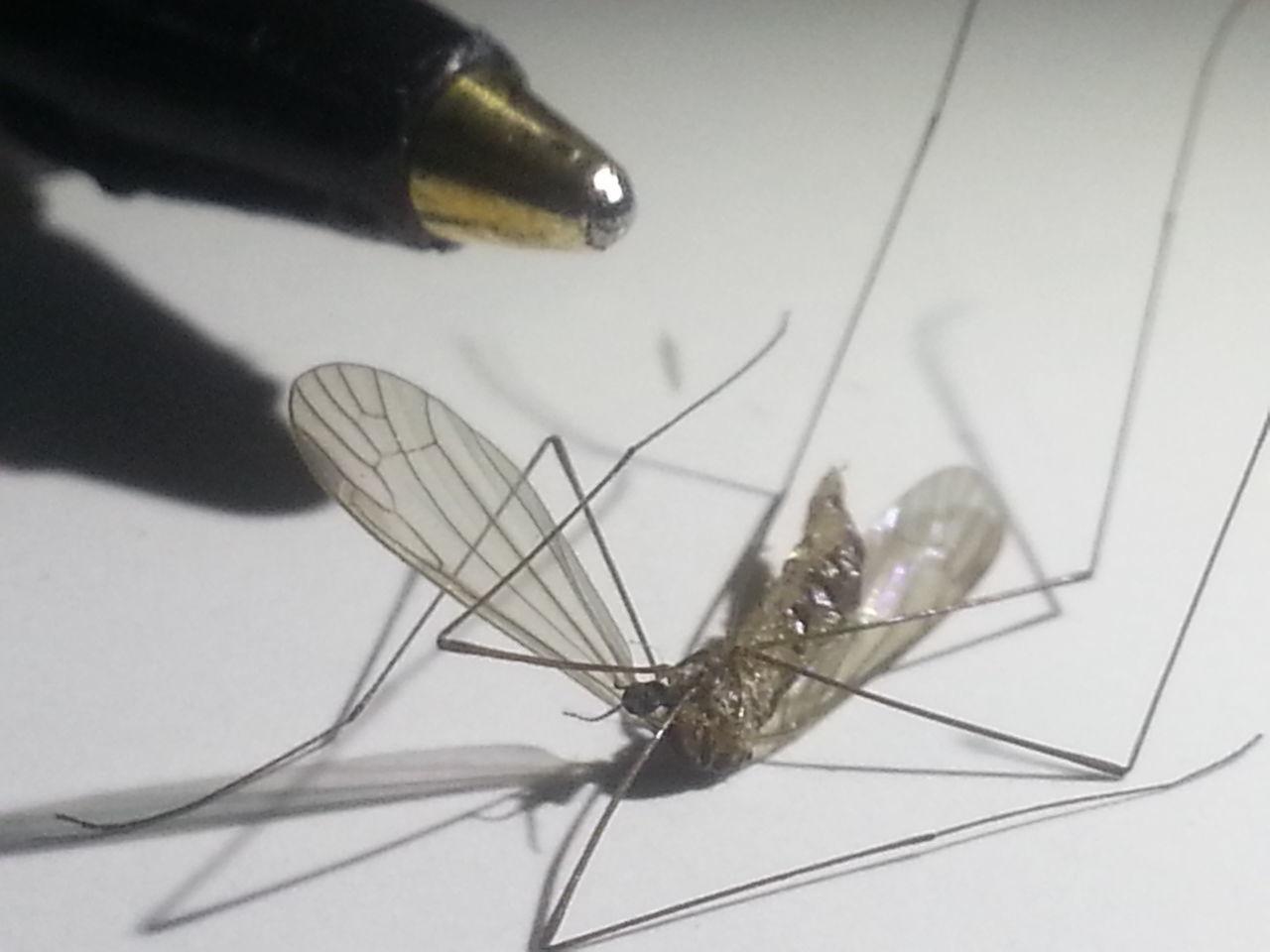 Macro_collection Macro Macro Photography Mosquito Mosquitoes  Mosquitos Killing Mosquitos