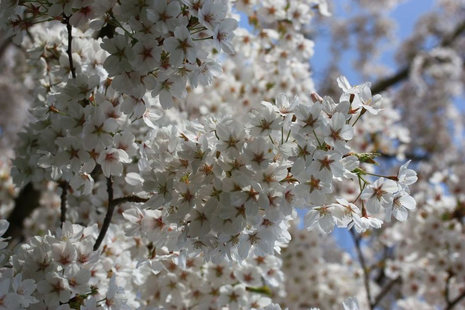 Beautiful stock photos of cherry, Beauty In Nature, Blooming, Branch, Cherry Blossom