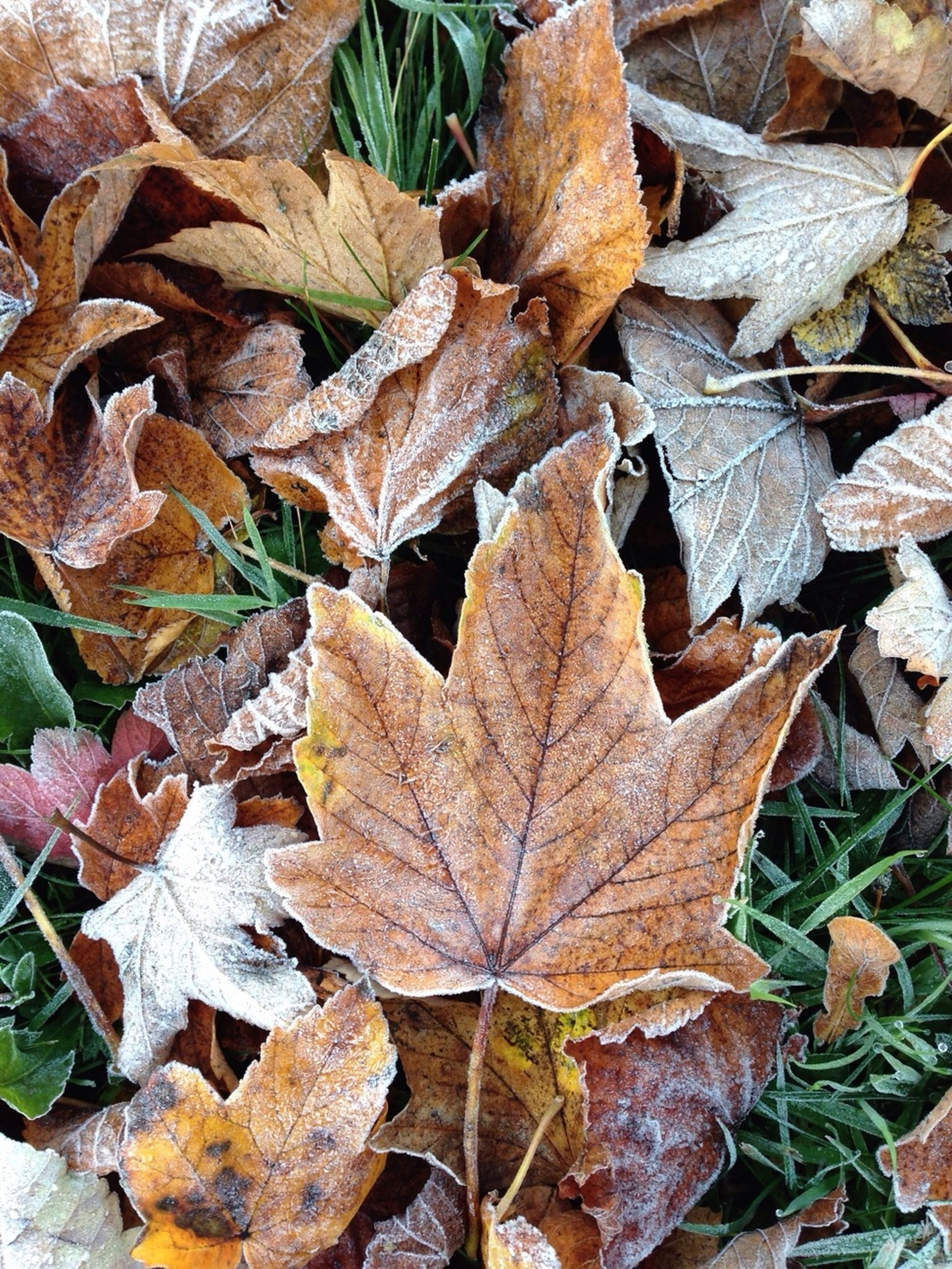 leaf, autumn, change, leaves, dry, season, leaf vein, close-up, full frame, high angle view, nature, fallen, maple leaf, natural pattern, backgrounds, day, aging process, outdoors, field, no people