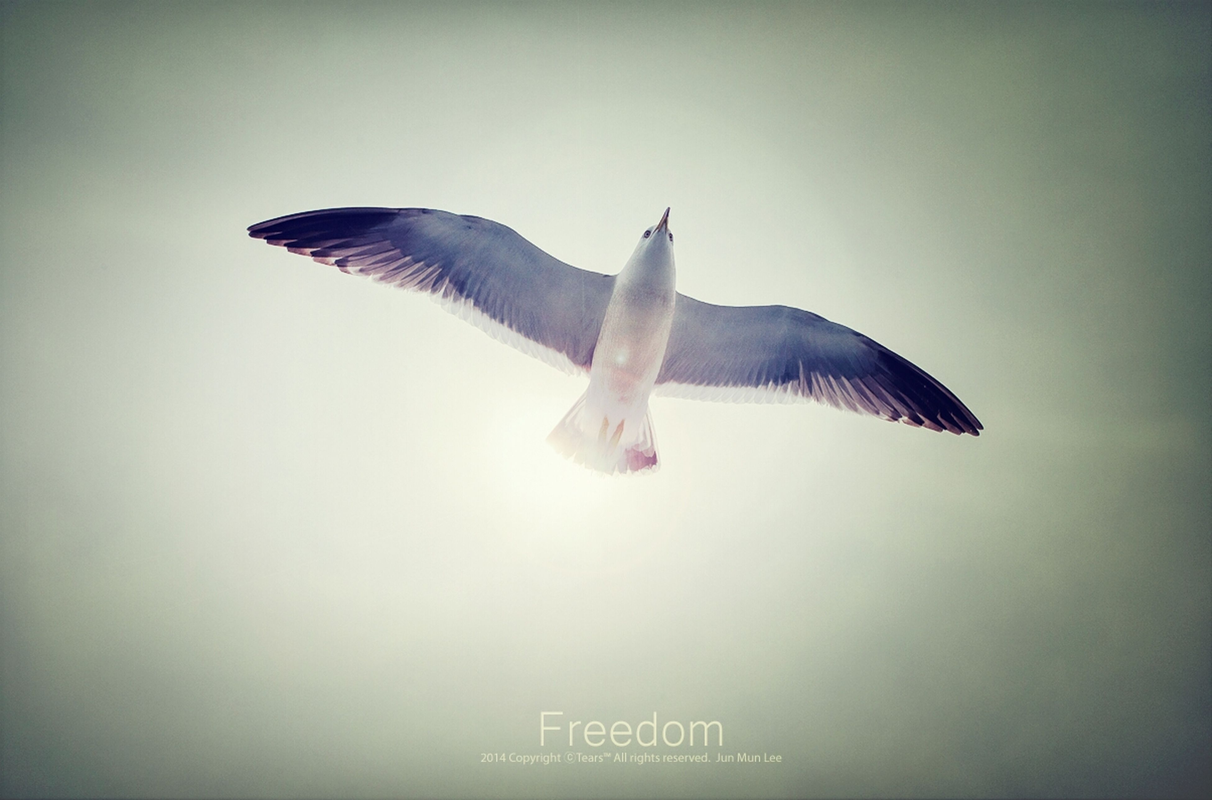 animal themes, one animal, bird, wildlife, animals in the wild, spread wings, clear sky, flying, copy space, low angle view, seagull, full length, auto post production filter, side view, vignette, zoology, transfer print, no people, nature, sky