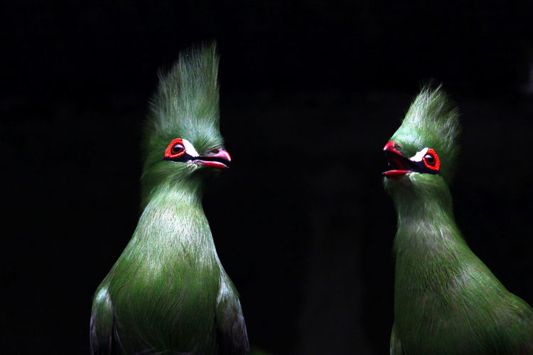Close up of Turacos Animal Animal Themes Avian Beauty In Nature Bird Black Background Couple Endangered Animals Green No People Turaco