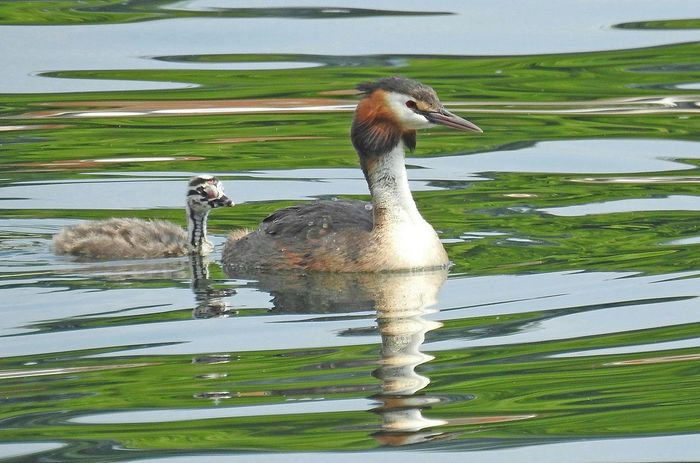 great crested grebe Animal Themes Day Great Crested Grebe Lake Nature No People Svasso Maggiore Water Wildlife