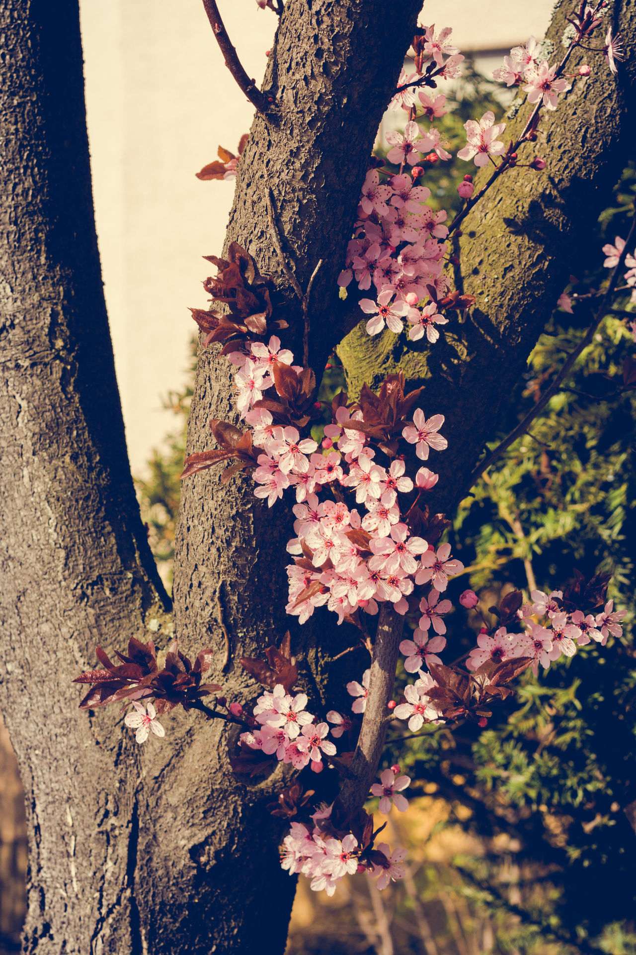 Cherry Blossoms Animal Themes Be Happy Beauty In Nature Blossom Branch Cherry Blossoms Close-up Day Flower Fragility Freshness Garden Growth Kirschblüte Nature No People Outdoors Plant Sky Springtime Tree Wonder Of Nature